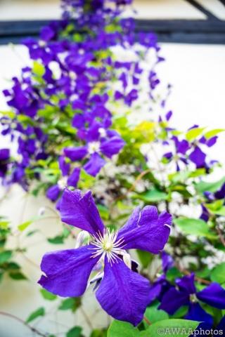 Clematis, Ladder, flower, purple,